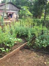 One of the many successful vegetable gardens