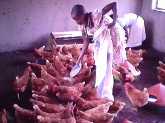 Students Feeding Chickens