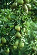 Organic yield
