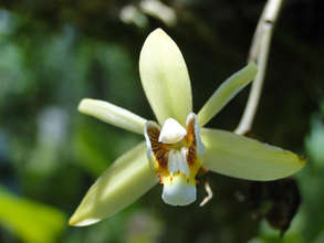 Orchid from the La Fortuna area