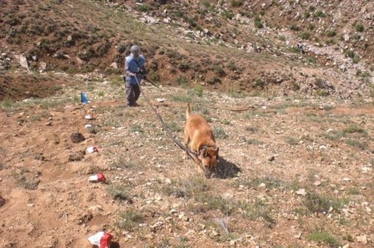 MDD Toby searching for mines in Afghanistan