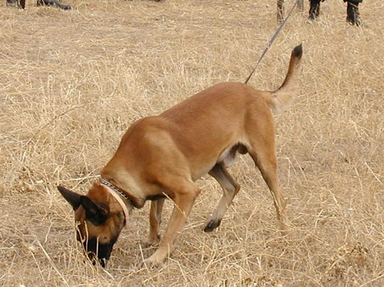 """MDD Duco """"sniffing out"""" landmines"""