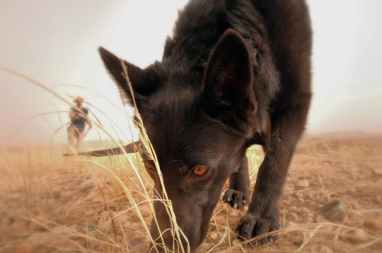 """Mine Detection Dog """"sniffing out"""" mines"""