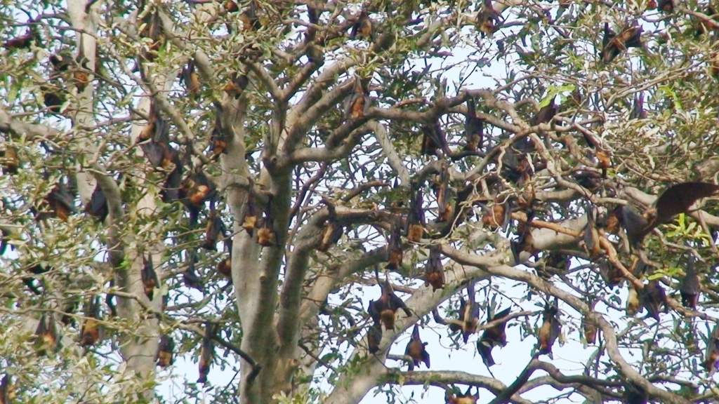 Roosting site - Banyan Tree