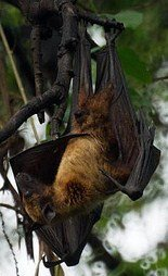 Conserve bats in International year of bats, India