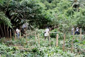 An large, recently trimmed, agroforestry plot