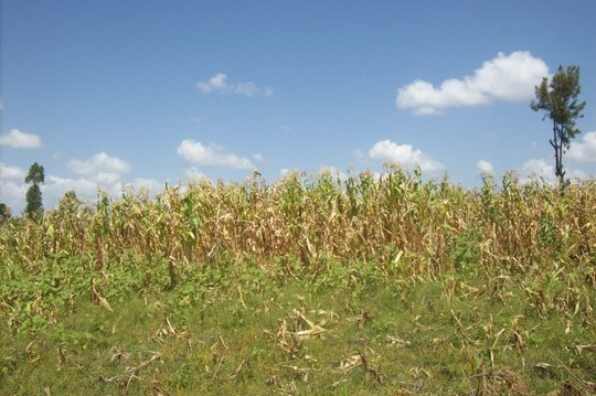 Tareto Maa cornfield spoiled by disease