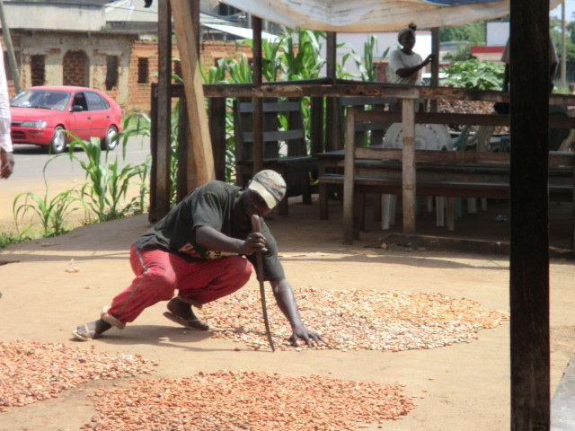 Reabilitation of 150 cocoa orchards in cameroon