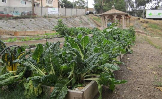 Chard and lettuce ready for harvest