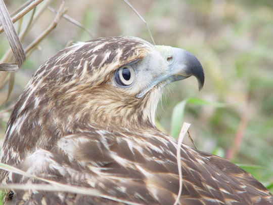 Red-tailed hawks are one of the largest birds of prey.  They are injured when they fall from a nest; some have difficulty finding food in winter or times of drought.  Too many, like this beautiful bird, are injured after being hit by cars.  The lucky ones get a second chance to fly free.