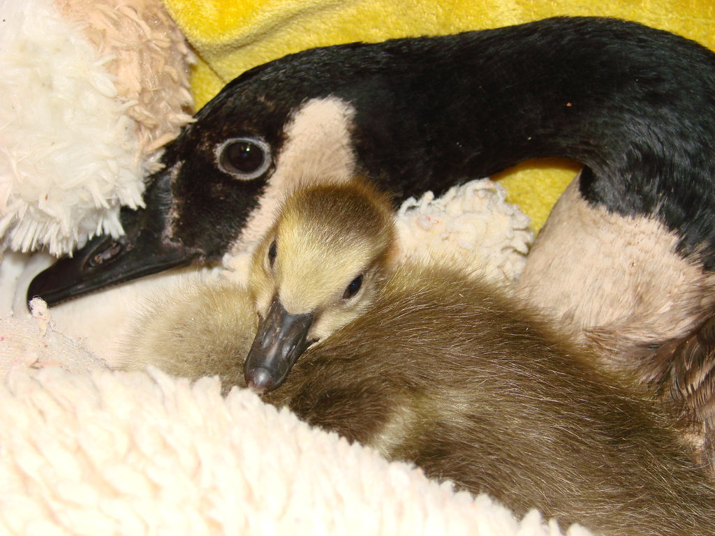 Mother Goose with adopted gosling