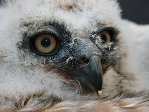Great-horned owlet at admit in spring of 2012