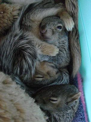 Baby grey squirrels