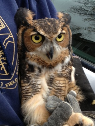 Great-horned owl raised by Alberta