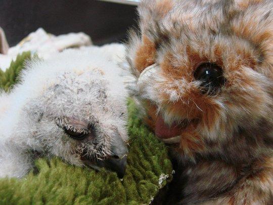 Nestling Great-horned owl
