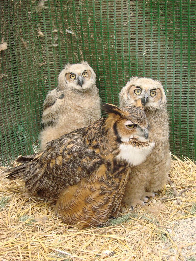 """""""Alberta"""" foster great-horned owl with orphans"""