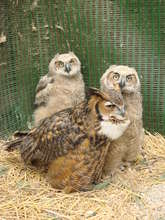 """Alberta"" foster great-horned owl with orphans"