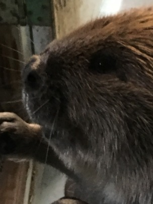 Yearling male beaver
