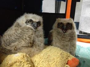 Orphaned great horned owls