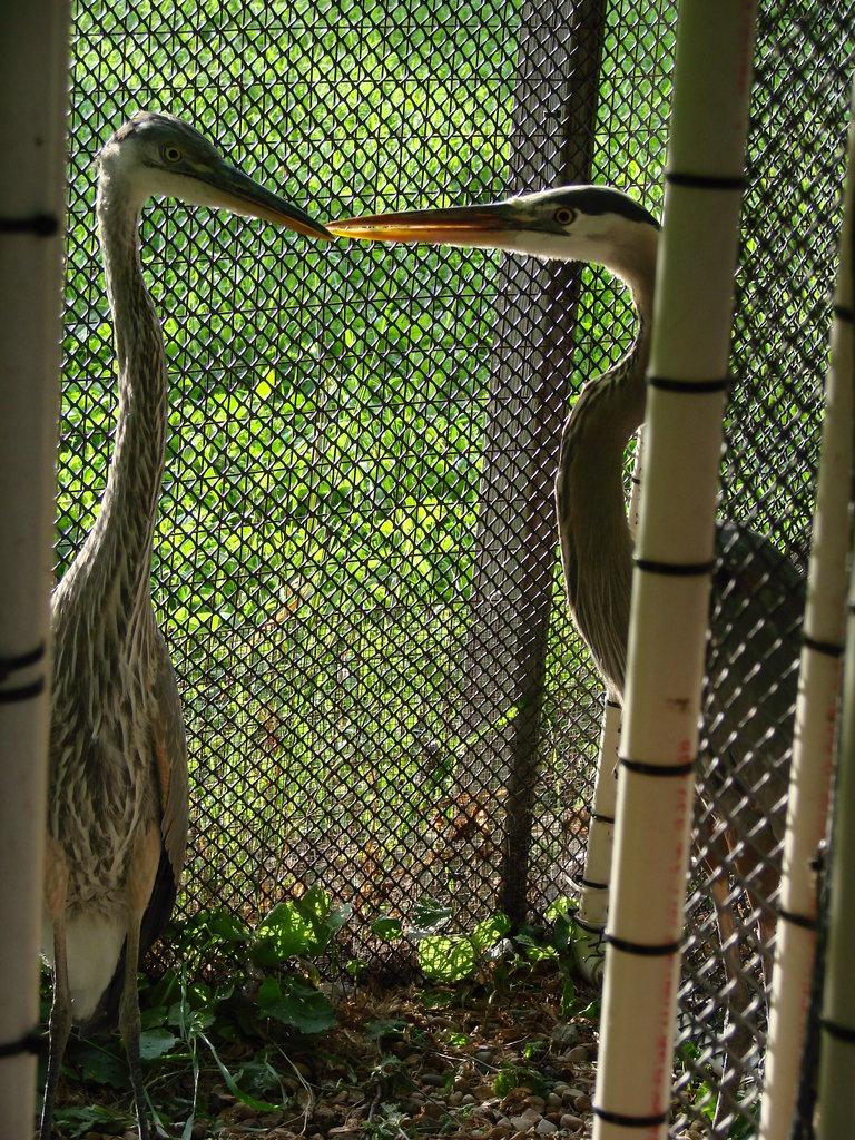 Great-blue heron, injured mature & immature