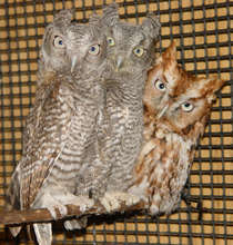 """Benjamin,"" Eastern Screech Owl, with orphans"