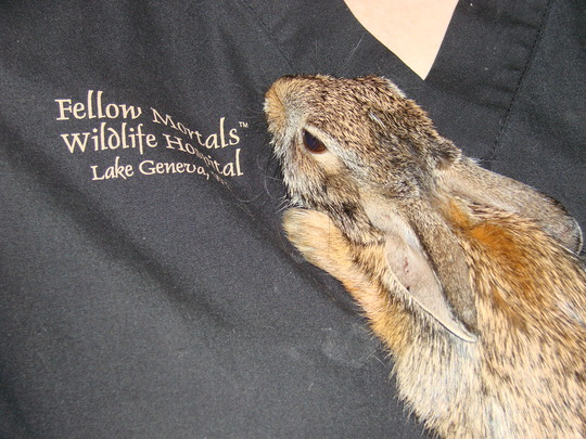 Injured Cottontail Rabbit at admit