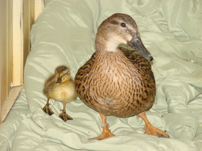 Foster Mama Mallard 'Snow' with orphaned duckling