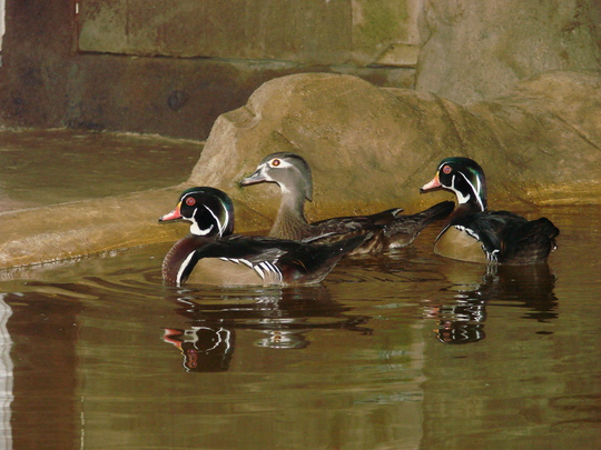 Wood ducks soon to be released