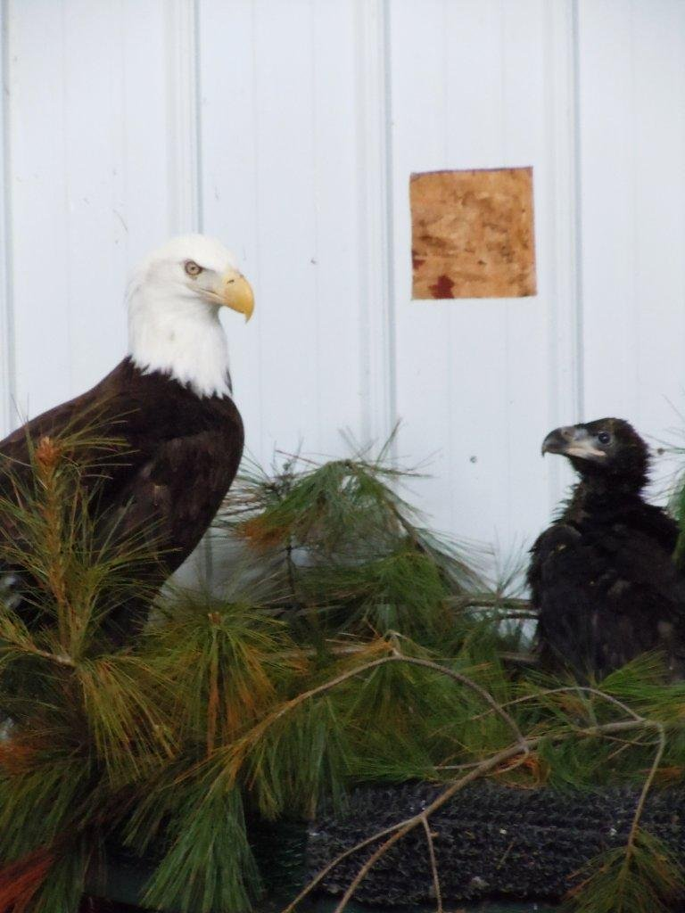 Eaglet with foster at Raptor Education Group