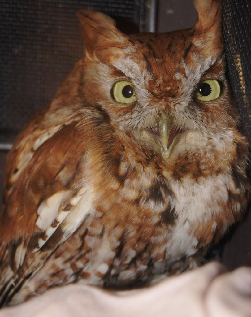 Screech owl (starving because of fractured wing)