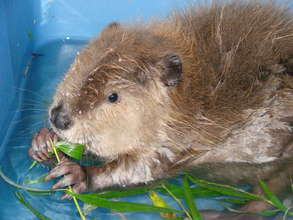Kesha, orphaned beaver raised at Fellow Mortals