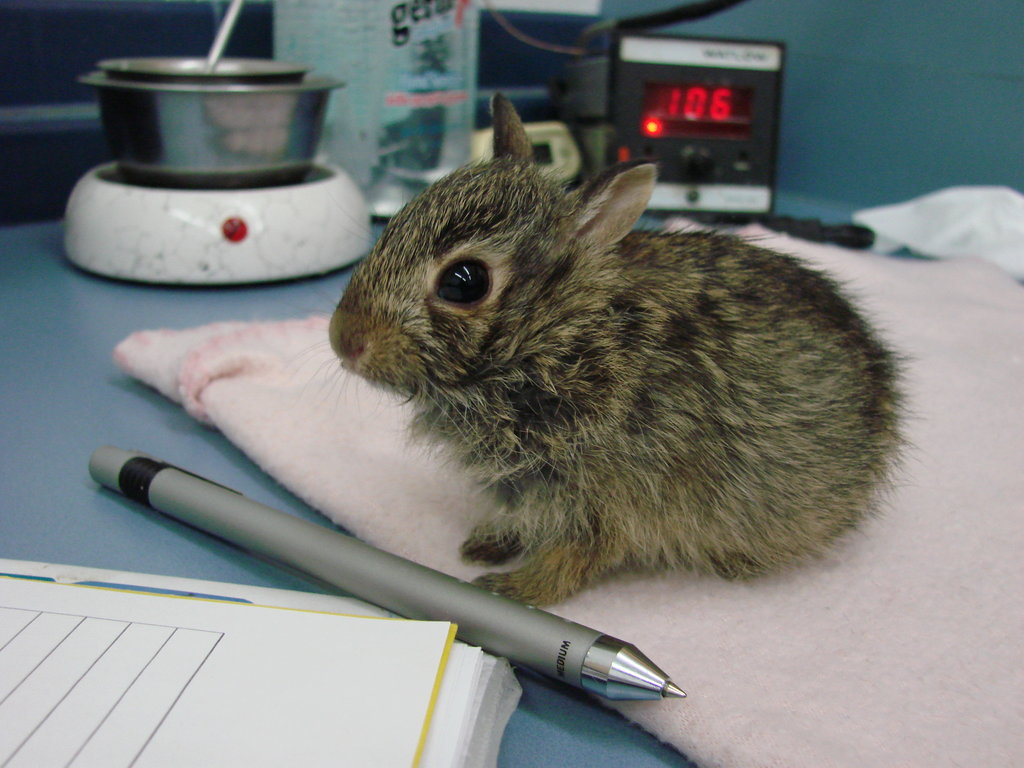 Hunny bunny, orphaned cottontail rabbit