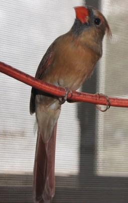 Female cardinal (unreleaseable, foster bird)