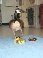 """Hannah,"" foster Canada goose with orphan"