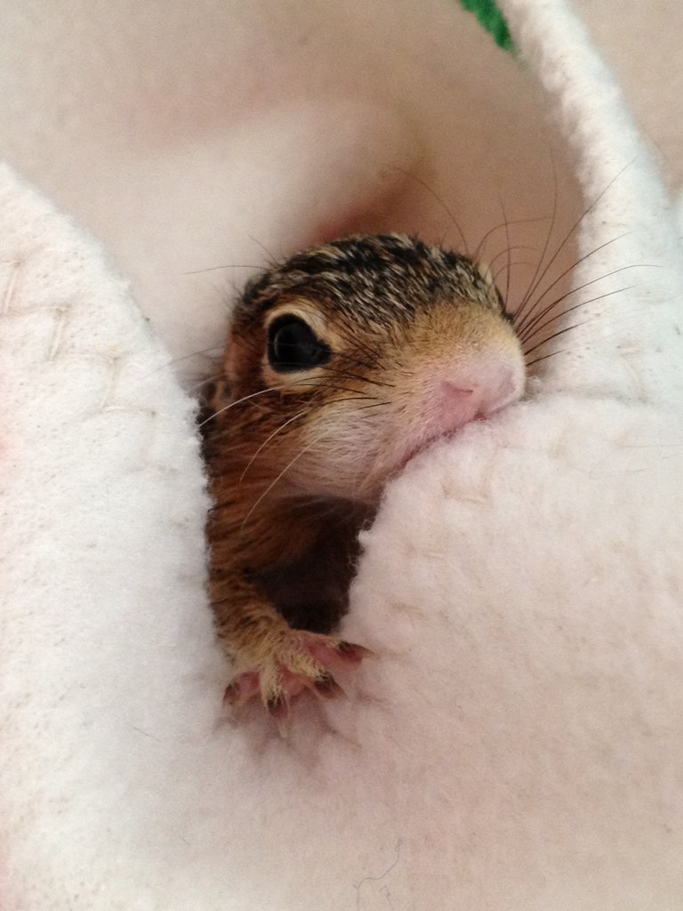 Infant 13-lined Ground Squirrel