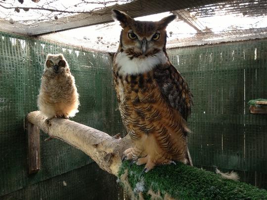 Alberta, great-horned owl foster