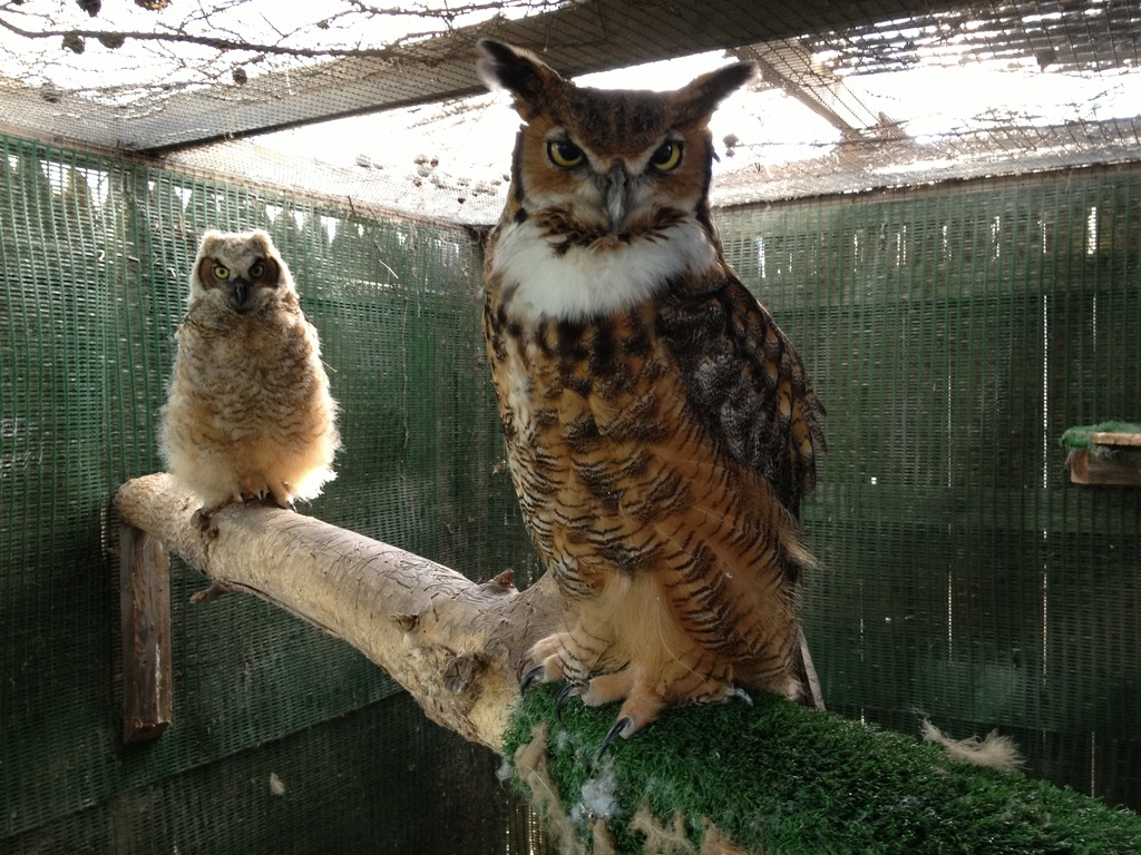 Alberta, great-horned owl foster