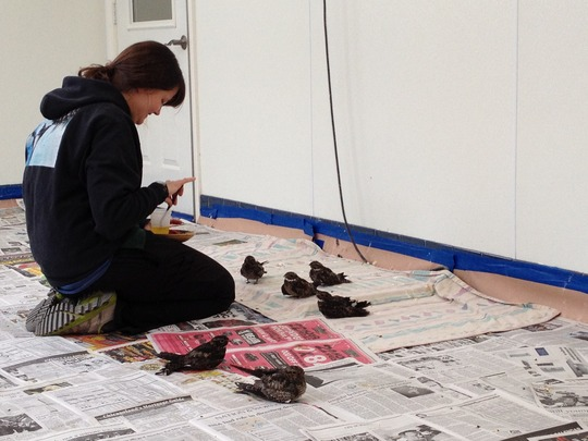 Feeding Overwintering Common Nighthawks