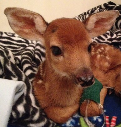 Days-old White-tail deer fawn