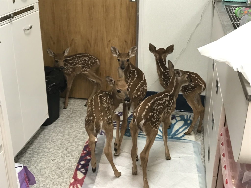 Fawns at the door