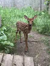 fawn outside
