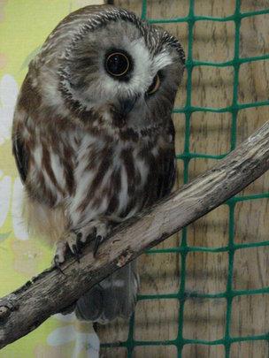 Saw-whet owl (Katy is the tiniest)