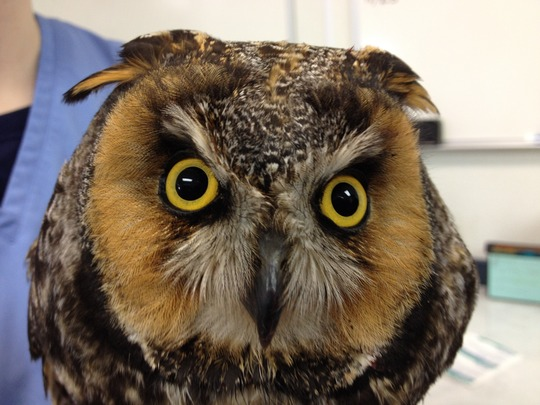 Long-eared owl (he's new, it's why he's grumpy.)