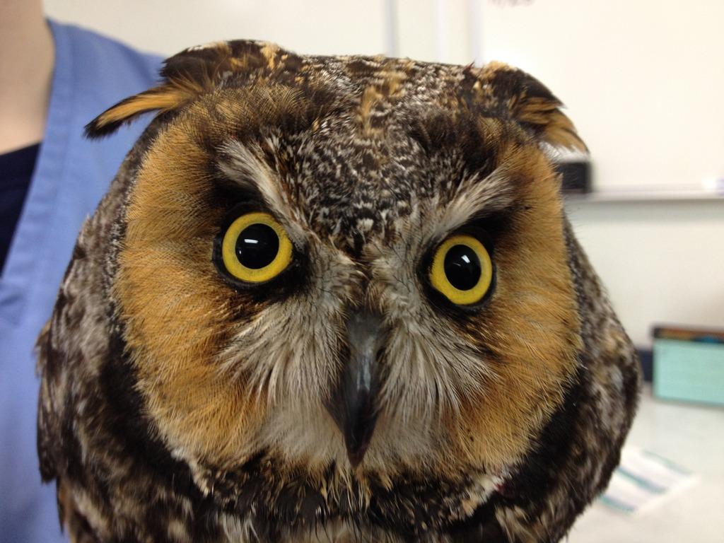 Long-eared owl (he
