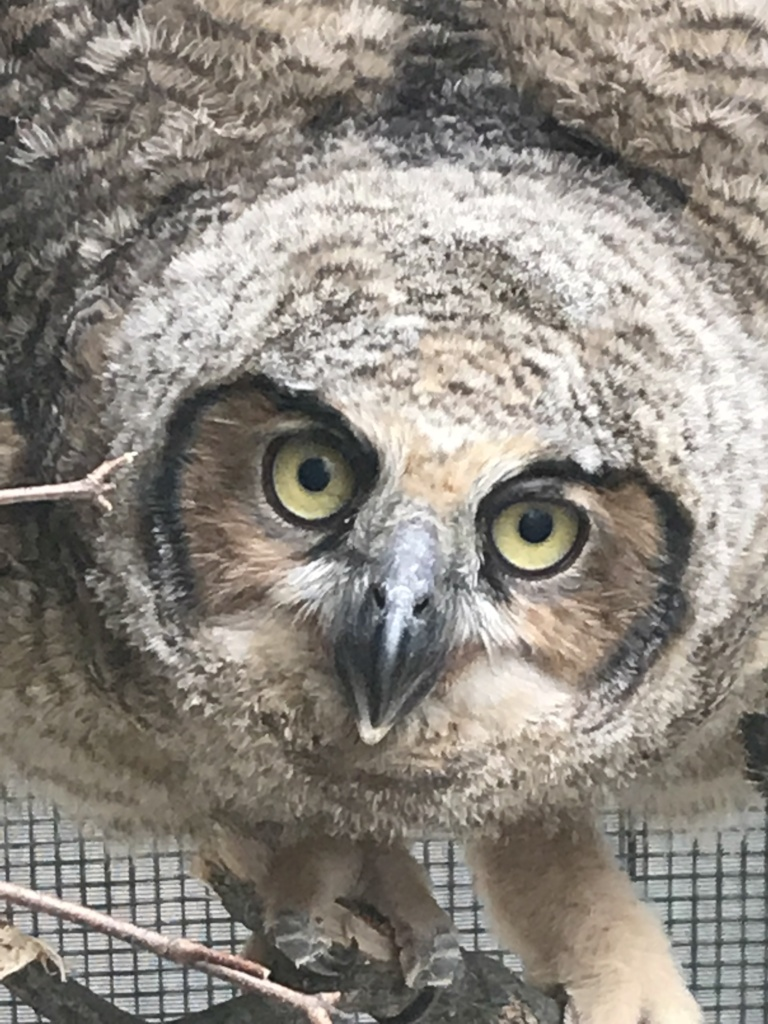 Great horned owl (brancher)