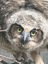 Great horned owl (brancher)