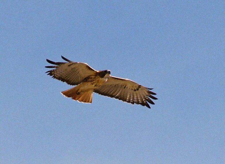 Red-tailed Hawk release, photo Karen McKenzie
