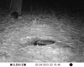 Beaver on 'Wild Cam' (raccoon friend nearby)