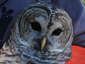 Barred owl (Shakespeare only LOOKS quiet!)