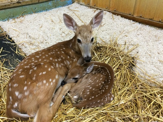 Injured older doe with orphaned newborn